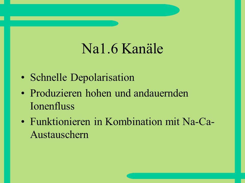 Na1.6 Kanäle Schnelle Depolarisation Produzieren hohen und andauernden Ionenfluss Funktionieren in Kombination mit Na-Ca- Austauschern