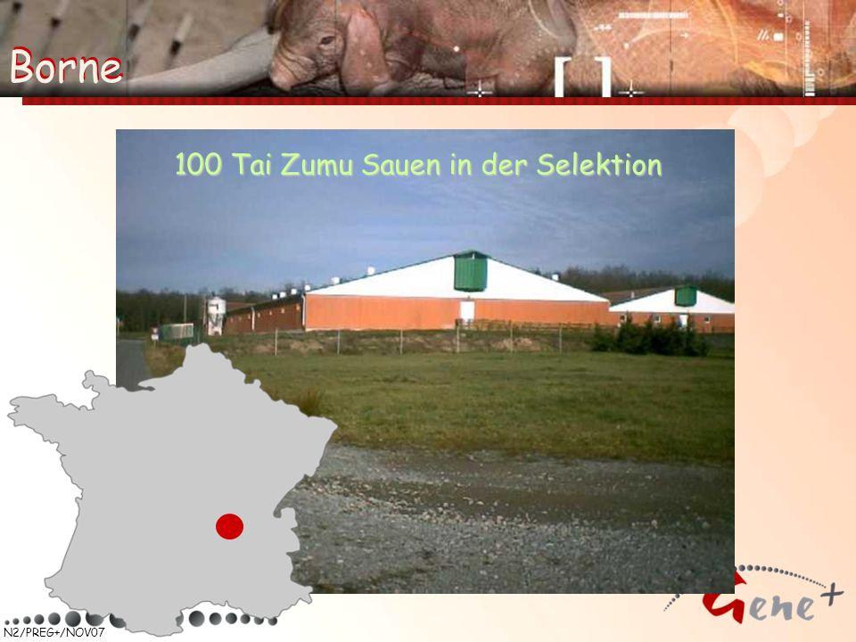 N2/PREG+/NOV07 Borne 100 Tai Zumu Sauen in der Selektion