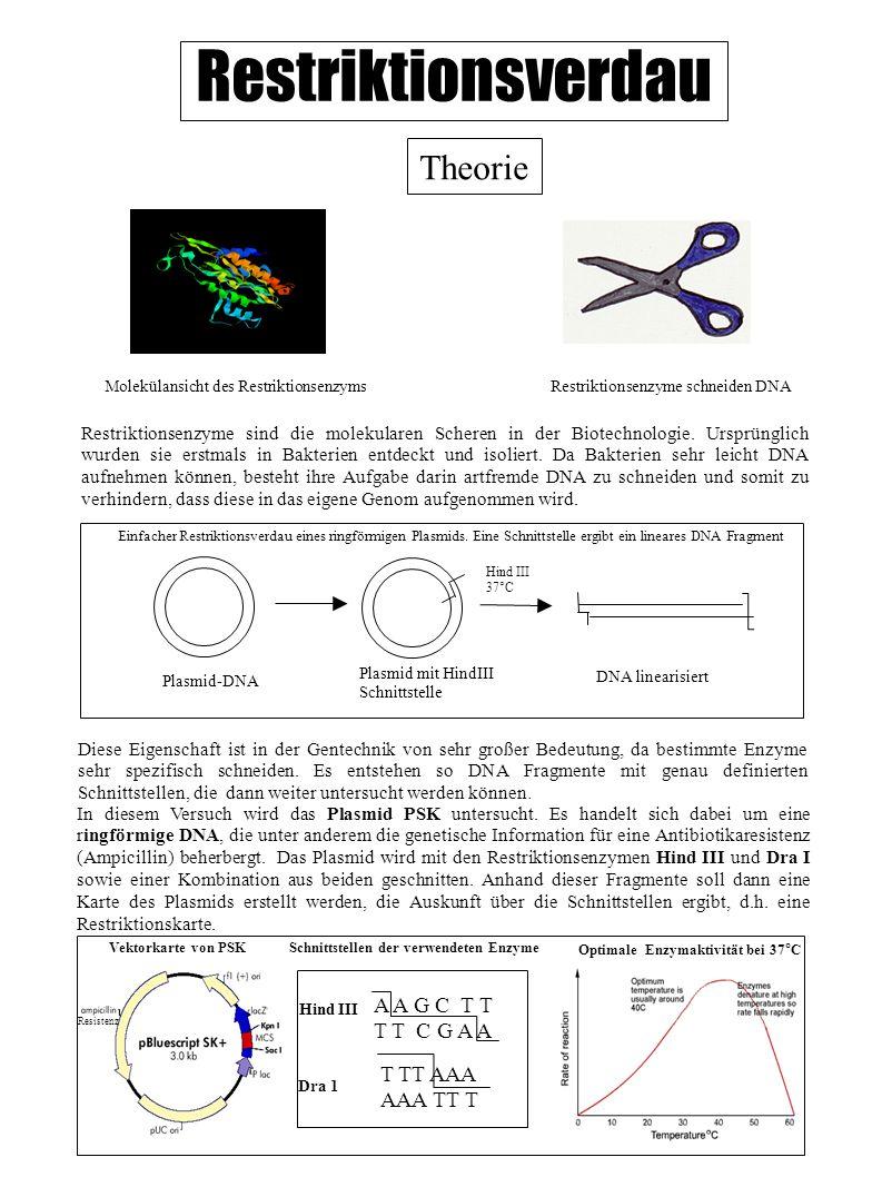 Restriktionsverdau Theorie Restriktionsenzyme sind die molekularen Scheren in der Biotechnologie. Ursprünglich wurden sie erstmals in Bakterien entdec