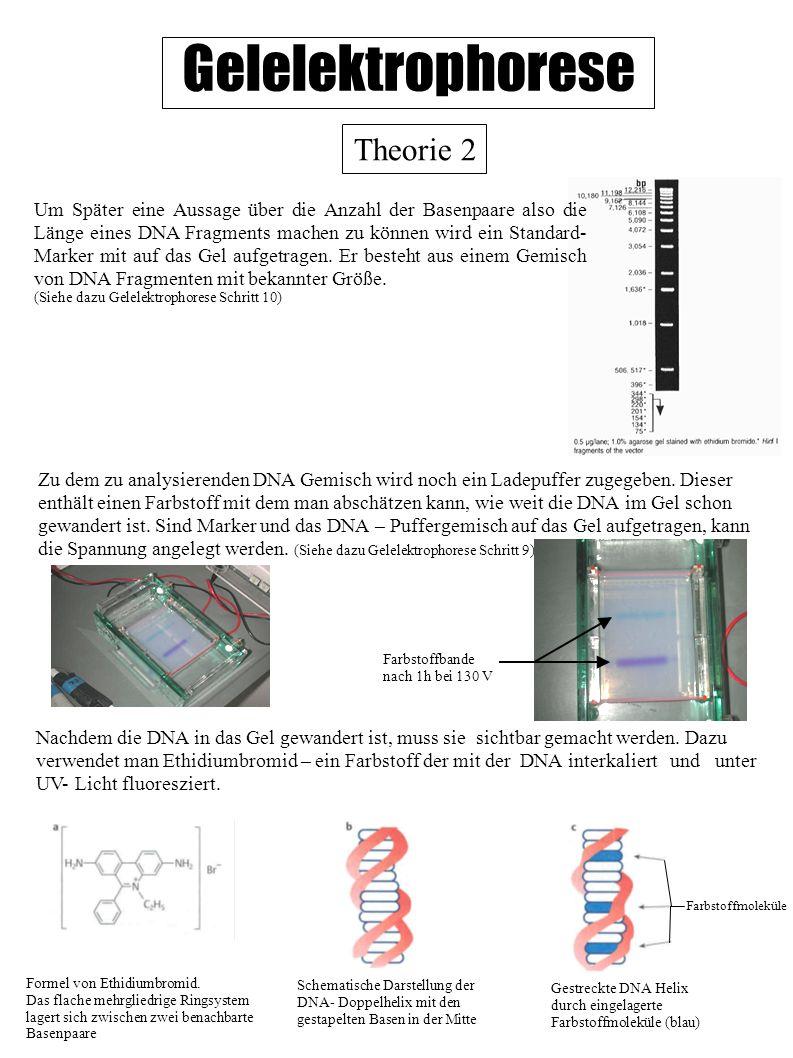 Gelelektrophorese Theorie 2 Zu dem zu analysierenden DNA Gemisch wird noch ein Ladepuffer zugegeben. Dieser enthält einen Farbstoff mit dem man abschä