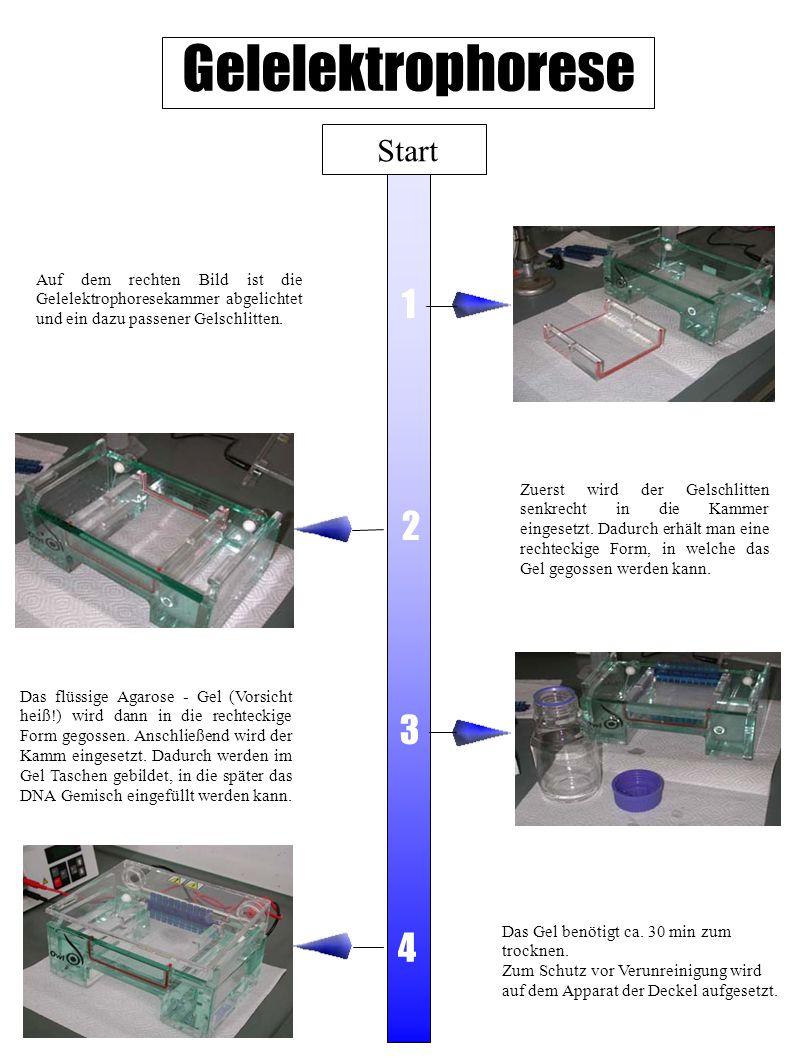 Gelelektrophorese Start Zuerst wird der Gelschlitten senkrecht in die Kammer eingesetzt. Dadurch erhält man eine rechteckige Form, in welche das Gel g