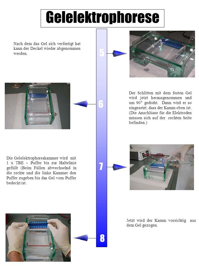 Gelelektrophorese Der Schlitten mit dem festen Gel wird jetzt herausgenommen und um 90° gedreht. Dann wird er so eingesetzt, dass der Kamm oben ist. (