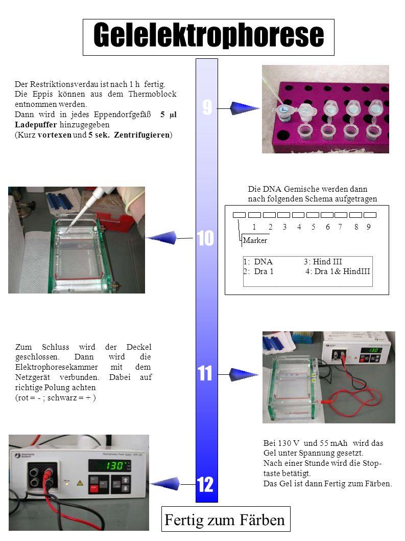 Färben und Auswerten Start 1 2 3 4 Da der verwendete Farbstoff Ethidiumbromid krebserregend ist, wird das Färben von den Betreuern durchgeführt.