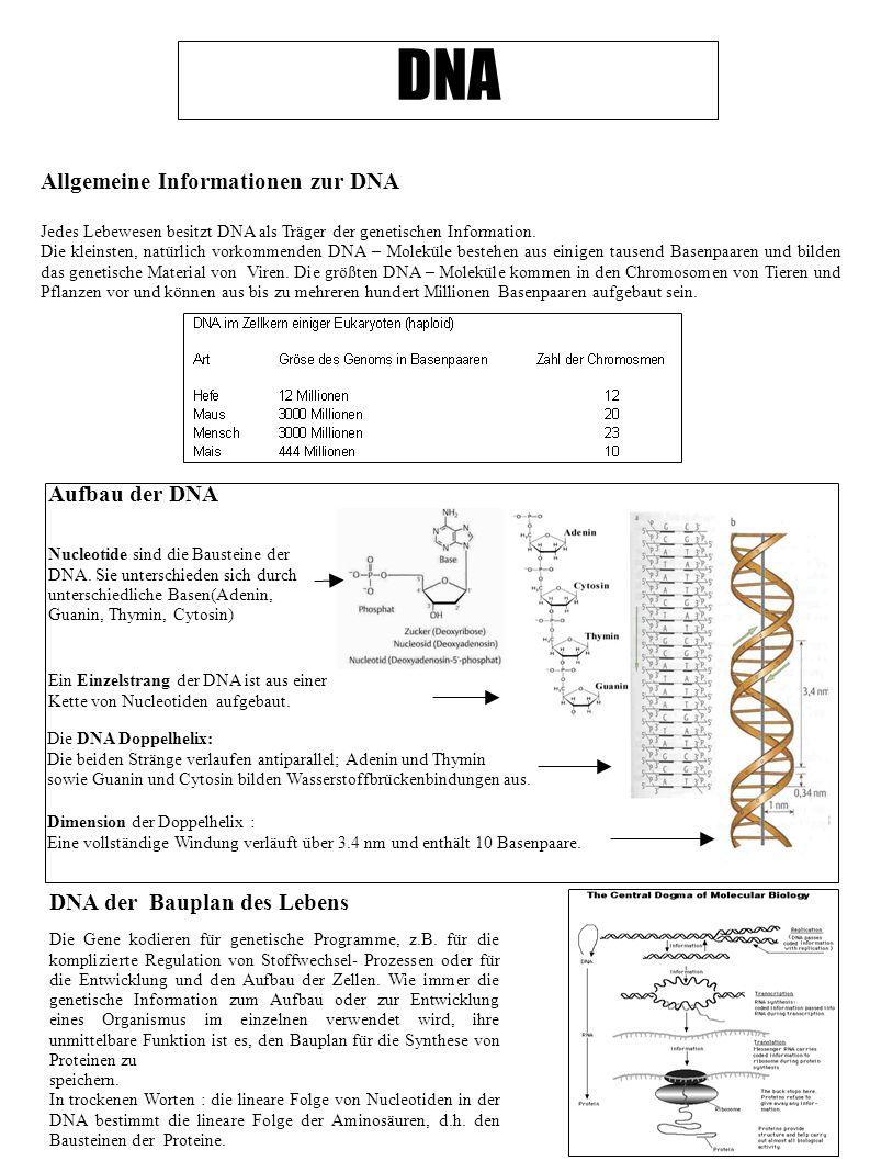 DNA Allgemeine Informationen zur DNA Jedes Lebewesen besitzt DNA als Träger der genetischen Information. Die kleinsten, natürlich vorkommenden DNA – M