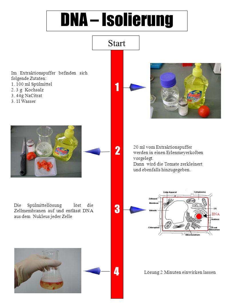 DNA – Isolierung Start 20 ml vom Extraktionspuffer werden in einen Erlenmeyerkolben vorgelegt. Dann wird die Tomate zerkleinert und ebenfalls hinzugeg