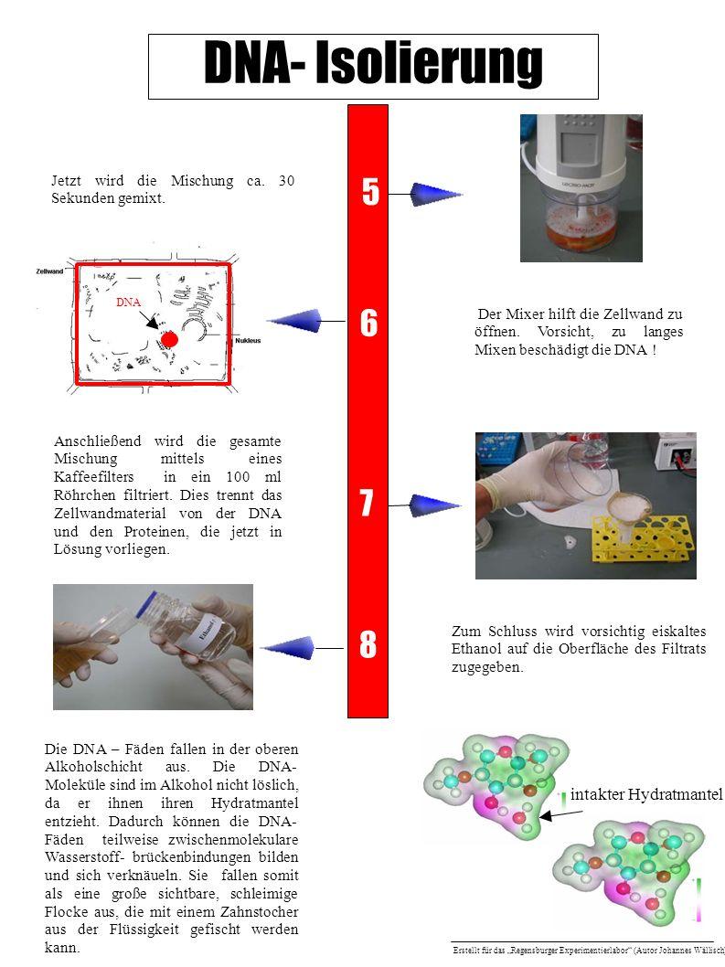 DNA- Isolierung Anschließend wird die gesamte Mischung mittels eines Kaffeefilters in ein 100 ml Röhrchen filtriert. Dies trennt das Zellwandmaterial