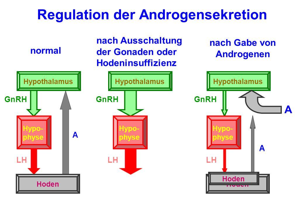 Regulation der Androgensekretion Hypothalamus GnRH Hypo- physe LH Hoden A Hypothalamus GnRH Hypo- physe Hoden LH A normal nach Ausschaltung der Gonade