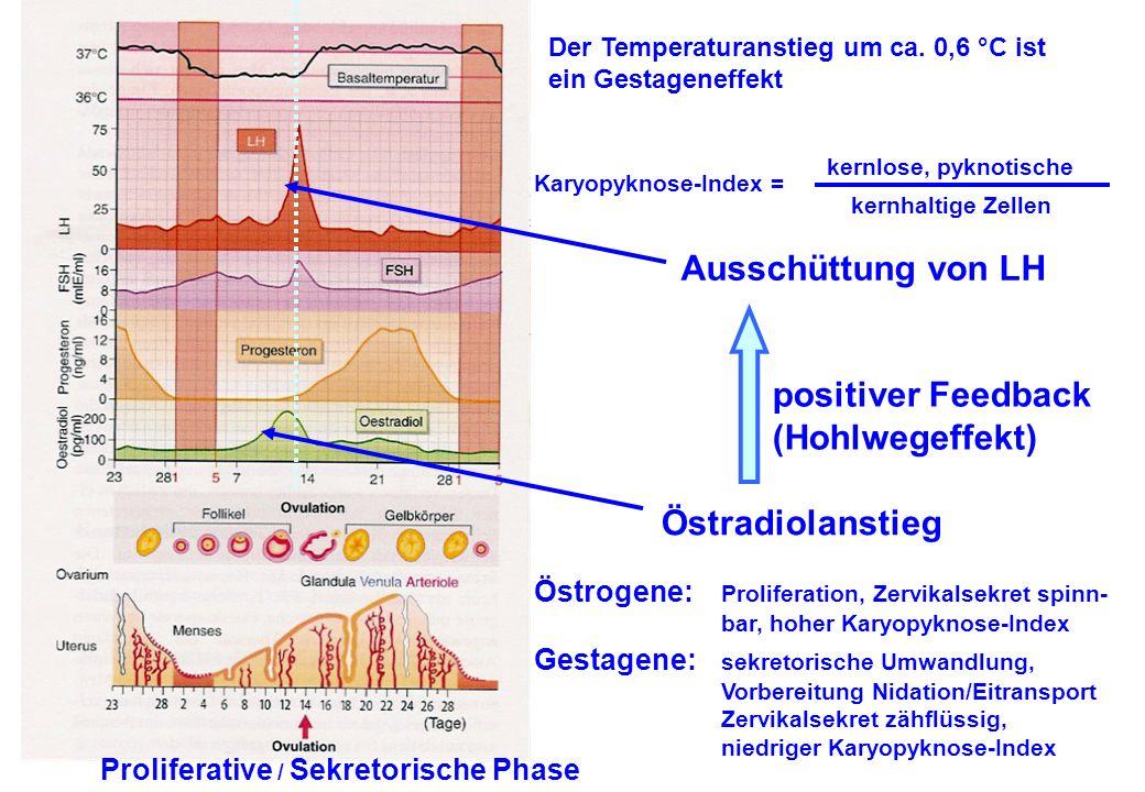 Östradiolanstieg positiver Feedback (Hohlwegeffekt) Ausschüttung von LH Proliferative / Sekretorische Phase Der Temperaturanstieg um ca. 0,6 °C ist ei