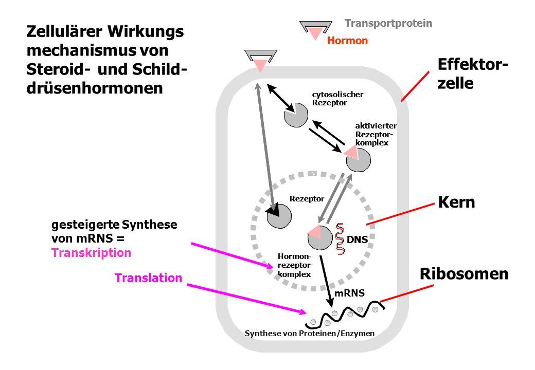 Zellulärer Wirkungs- mechanismus von Steroid-und Schild- drüsenhormonen Transportprotein Hormon Transportprotein Hormon mRNS Hormon- rezeptor- komplex