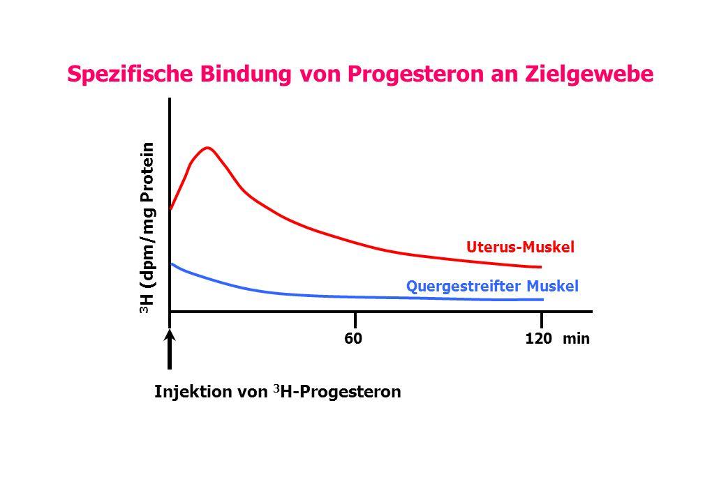 Uterus-Muskel Quergestreifter Muskel Injektion von 3 H-Progesteron 60120 min 3 H (dpm/mg Protein Spezifische Bindung von Progesteron an Zielgewebe