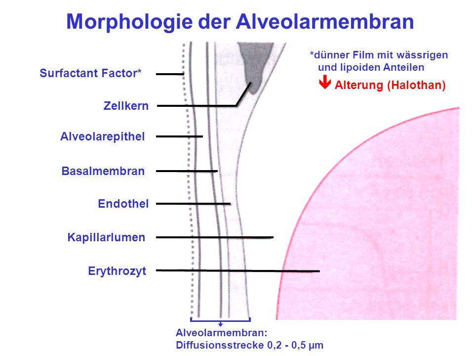 Morphologie der Alveolarmembran Surfactant Factor* Zellkern Alveolarepithel Basalmembran Endothel Kapillarlumen Erythrozyt Alveolarmembran: Diffusionsstrecke 0,2 - 0,5 µm *dünner Film mit wässrigen und lipoiden Anteilen Alterung (Halothan)