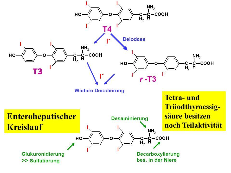 I-I- Deiodase T4 T3 r -T3 I-I- Weitere Deiodierung Desaminierung Tetra- und Triiodthyroessig- säure besitzen noch Teilaktivität Decarboxylierung bes.