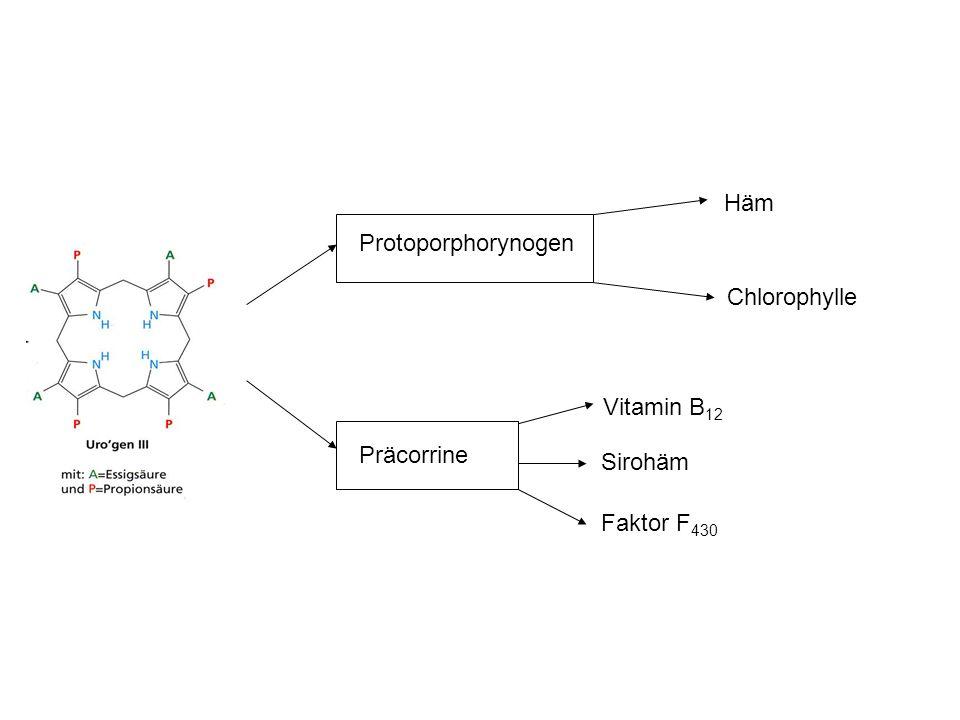 Präcorrine Faktor F 430 Sirohäm Vitamin B 12 Protoporphorynogen Häm Chlorophylle