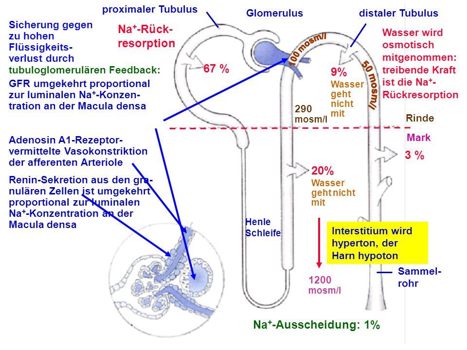 Glomerulusdistaler Tubulus Rinde Mark Sammel- rohr Henle Schleife proximaler Tubulus 67 % 20% Wasser geht nicht mit 9% Wasser geht nicht mit 3 % Na +