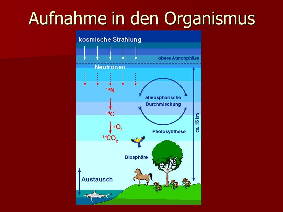 Die Radiokarbonnmethode Das CO 2 wird wiederum von Pflanzen aufgenommen über die Fotosynthese in Glucose Zellulose entsteht Das CO 2 wird wiederum von Pflanzen aufgenommen über die Fotosynthese in Glucose Zellulose entsteht Von diesem Zeitpunkt an nimmt der 14 C-Gehalt der Pflanze durch den radioaktiven Zerfall beständig ab.