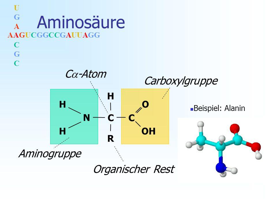 AAGUCGGCCGAUUAGG UGACGCUGACGC Aminosäure C -Atom Aminogruppe Carboxylgruppe H H H C C OH O R N Organischer Rest Beispiel: Alanin
