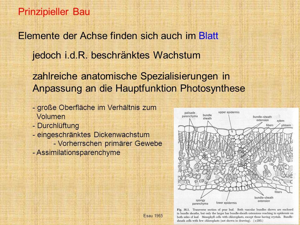 Anbindung an das Gefäßsystem des Stammes Blattlücken und Blattspuren Esau 1965