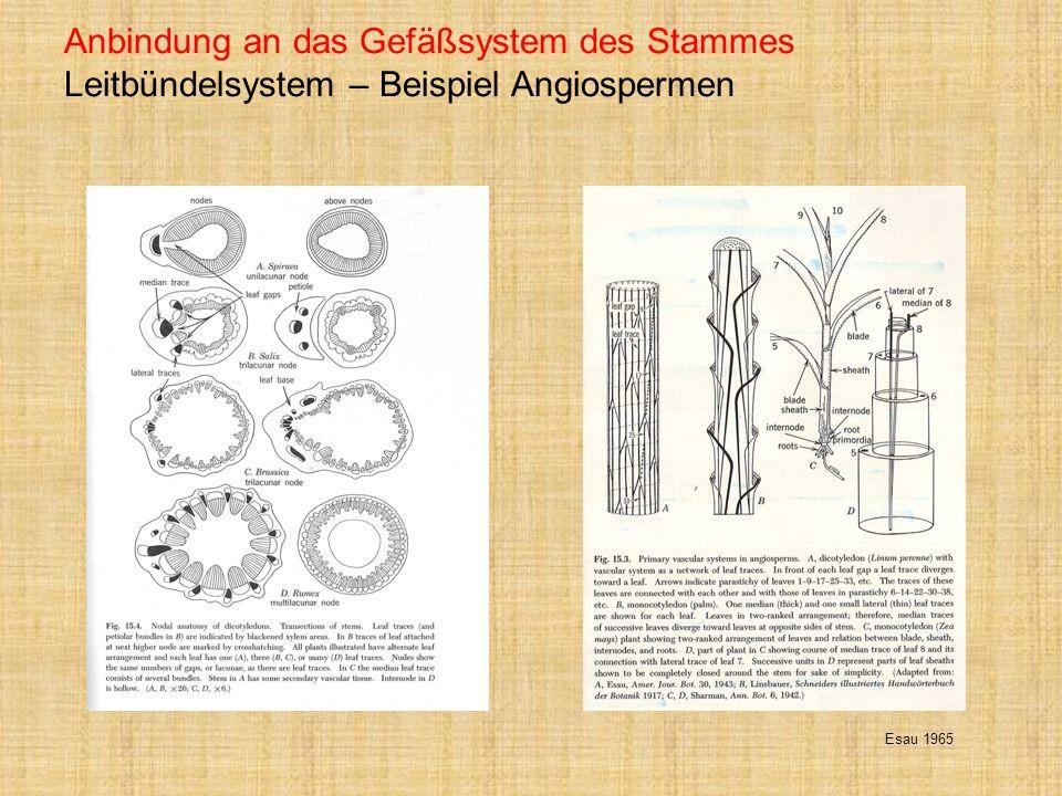 Anbindung an das Gefäßsystem des Stammes Leitbündelsystem – Beispiel Angiospermen Esau 1965