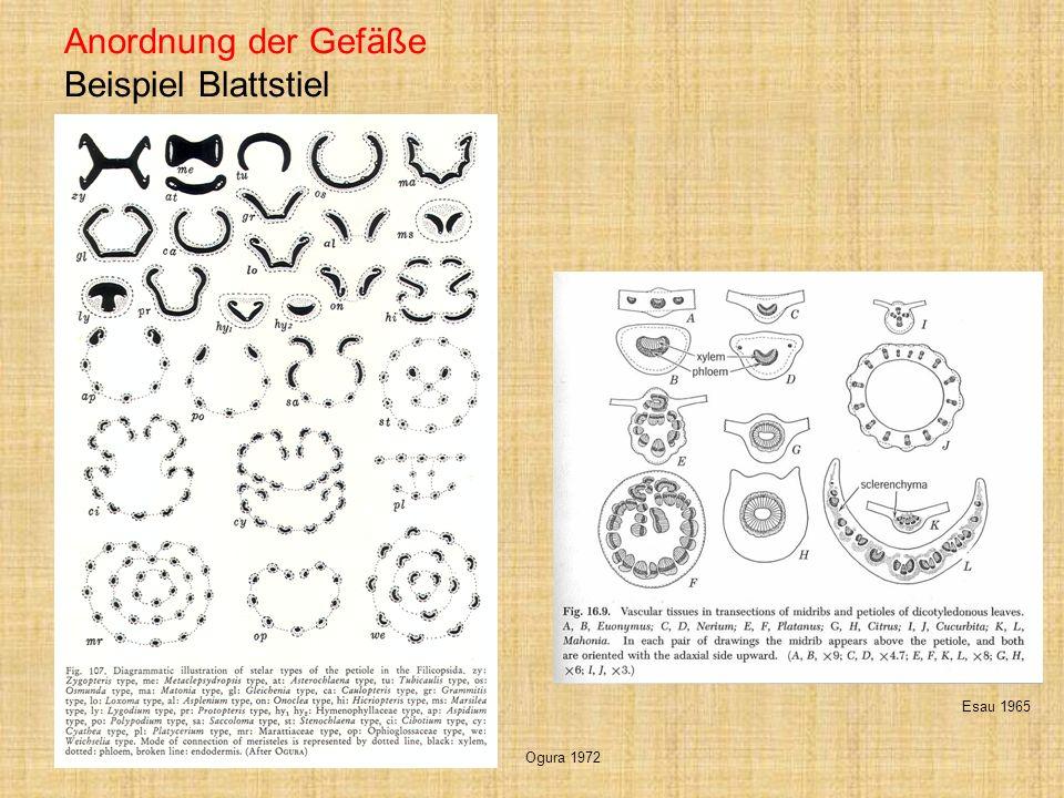 Gefäßbündelscheide Ausbildungen in der Blattspreite universelle Erscheinung im Pflanzenreich unterschiedliche physiologische Aufgaben Kontrolle des Stofftransportes Esau 1965