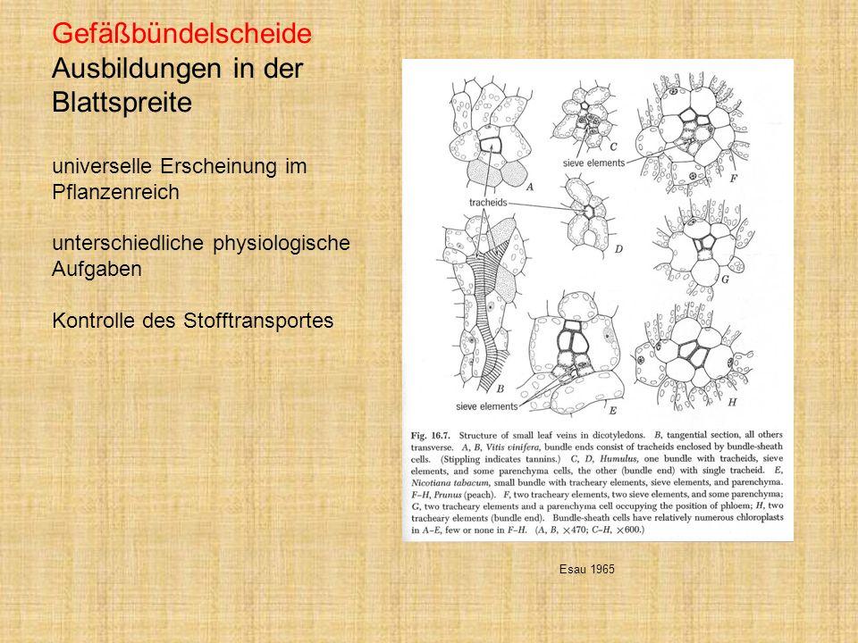 Gefäßbündelscheide Ausbildungen in der Blattspreite universelle Erscheinung im Pflanzenreich unterschiedliche physiologische Aufgaben Kontrolle des St