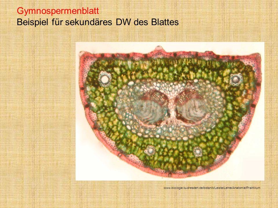Gymnospermenblatt Beispiel für sekundäres DW des Blattes www.biologie.tu-dresden.de/botanik/Leiste/Lehre/Anatomie/Praktikum
