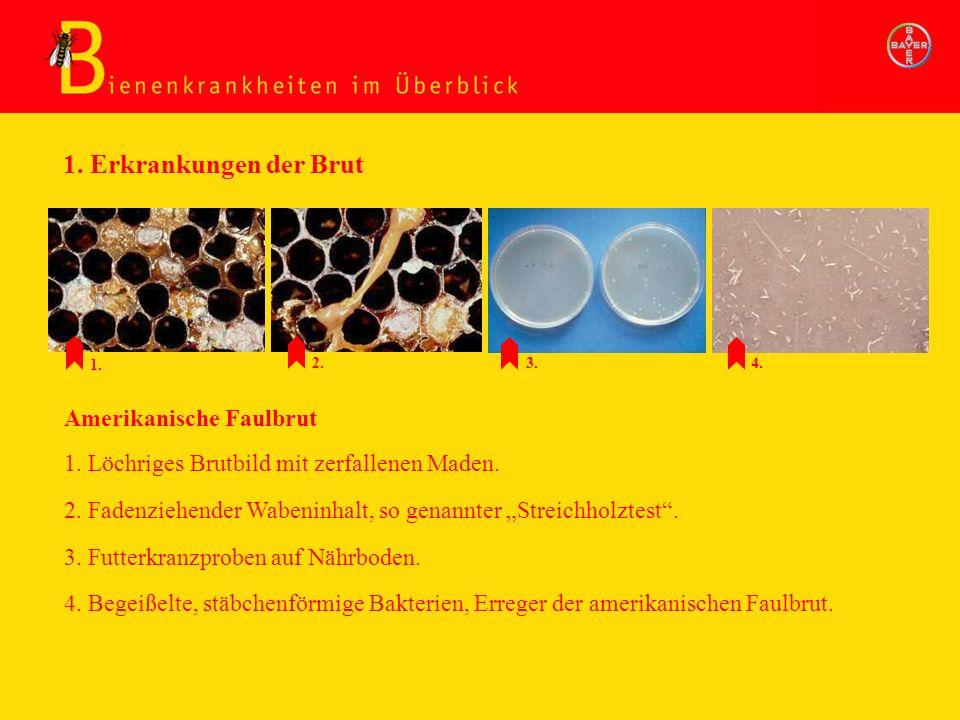 2. Fadenziehender Wabeninhalt, so genannter Streichholztest. Amerikanische Faulbrut 3. Futterkranzproben auf Nährboden. 4. Begeißelte, stäbchenförmige