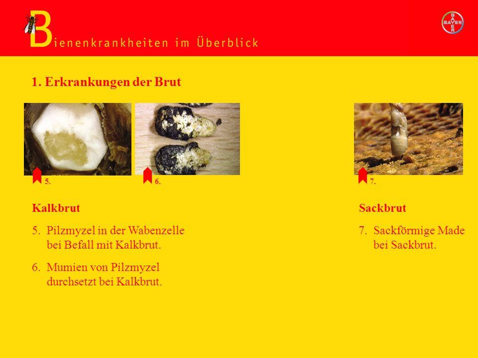 5. Pilzmyzel in der Wabenzelle bei Befall mit Kalkbrut. 6. Mumien von Pilzmyzel durchsetzt bei Kalkbrut. Kalkbrut 7. Sackförmige Made bei Sackbrut. 1.
