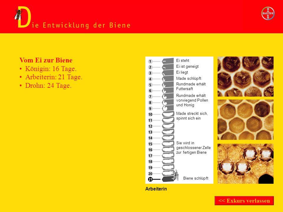 Exkurs Entwicklung der Biene Arbeiterin Vom Ei zur Biene Königin: 16 Tage. Ei steht Ei ist geneigt Ei liegt Made schlüpft Rundmade erhält Futtersaft R
