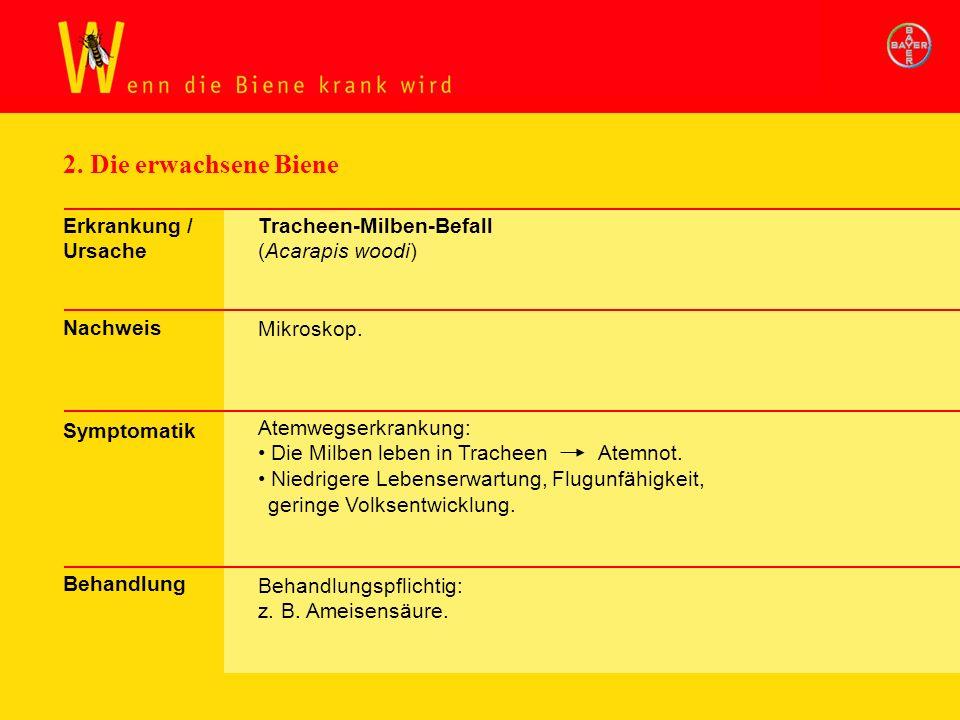 2. Die erwachsene Biene Erkrankung / Ursache Nachweis Symptomatik Behandlung Tracheen-Milben-Befall (Acarapis woodi) Mikroskop. Atemwegserkrankung: Di