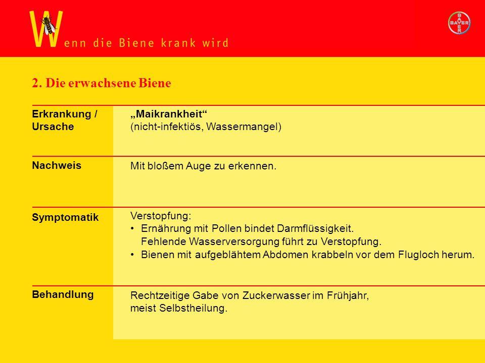 2. Die erwachsene Biene Erkrankung / Ursache Nachweis Symptomatik Behandlung Maikrankheit (nicht-infektiös, Wassermangel) Mit bloßem Auge zu erkennen.