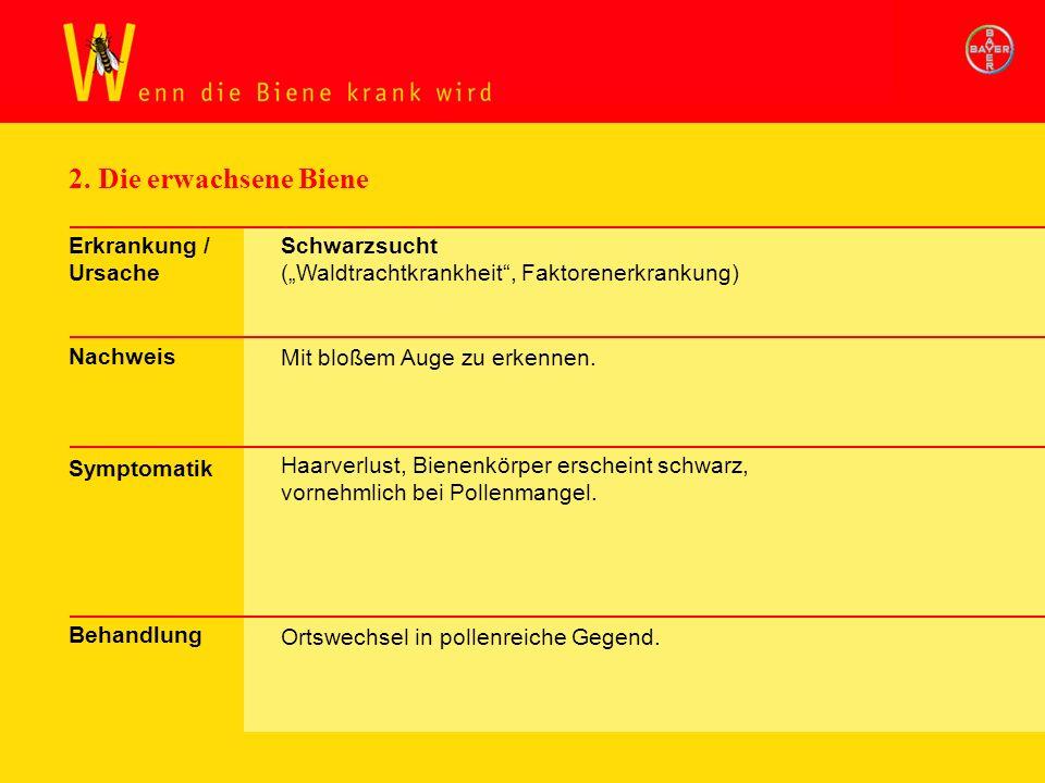 2. Die erwachsene Biene Erkrankung / Ursache Nachweis Symptomatik Behandlung Schwarzsucht (Waldtrachtkrankheit, Faktorenerkrankung) Mit bloßem Auge zu