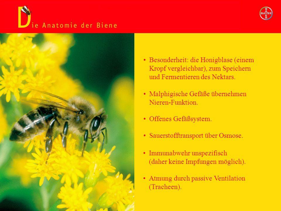 Besonderheit: die Honigblase (einem Kropf vergleichbar), zum Speichern und Fermentieren des Nektars. Malphigische Gefäße übernehmen Nieren-Funktion. O