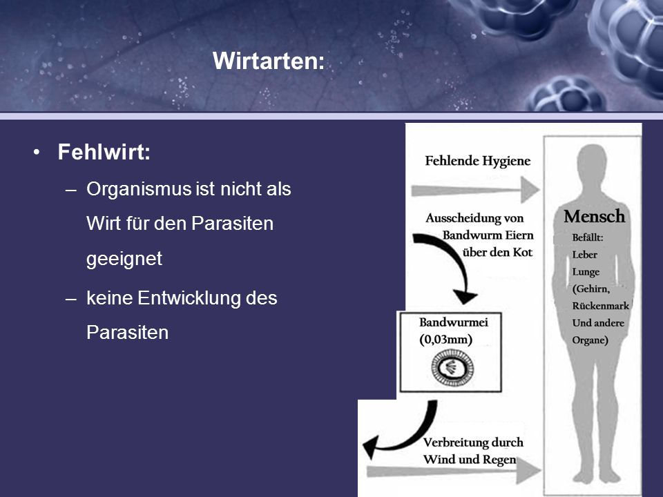 Wirtarten: Fehlwirt: –Organismus ist nicht als Wirt für den Parasiten geeignet –keine Entwicklung des Parasiten
