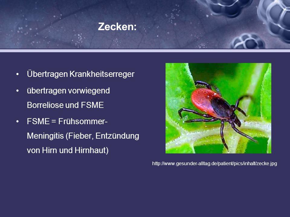 Zecken: Übertragen Krankheitserreger übertragen vorwiegend Borreliose und FSME FSME = Frühsommer- Meningitis (Fieber, Entzündung von Hirn und Hirnhaut