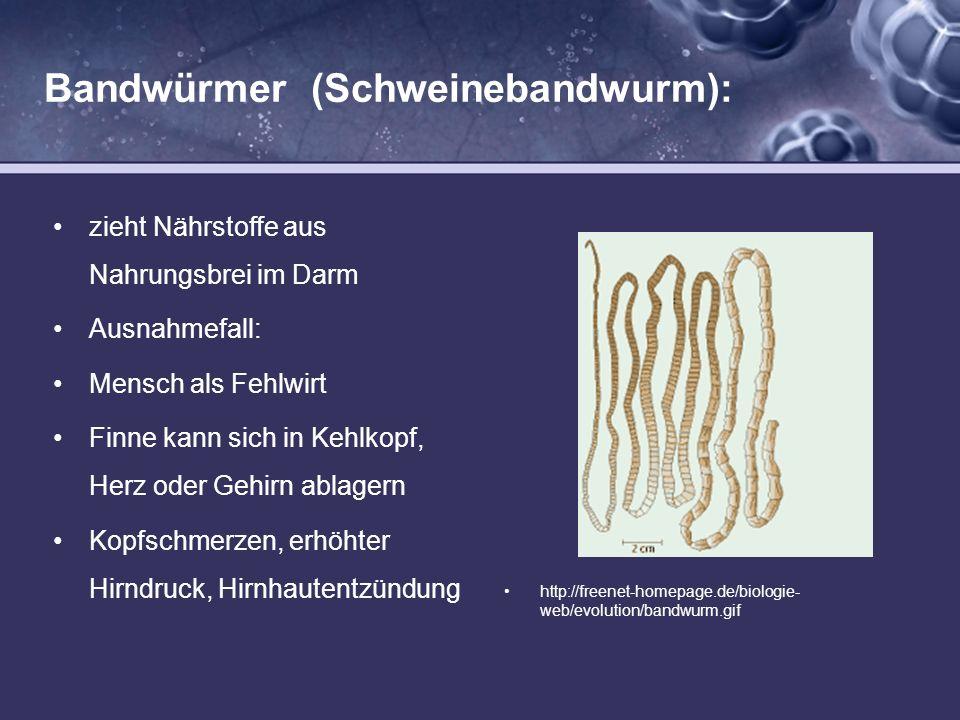 Bandwürmer (Schweinebandwurm): zieht Nährstoffe aus Nahrungsbrei im Darm Ausnahmefall: Mensch als Fehlwirt Finne kann sich in Kehlkopf, Herz oder Gehi