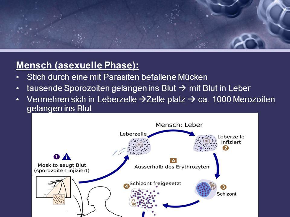 Mensch (asexuelle Phase): Stich durch eine mit Parasiten befallene Mücken tausende Sporozoiten gelangen ins Blut mit Blut in Leber Vermehren sich in L