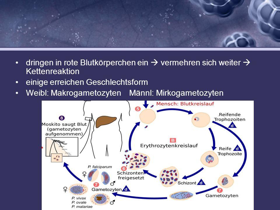 dringen in rote Blutkörperchen ein vermehren sich weiter Kettenreaktion einige erreichen Geschlechtsform Weibl: Makrogametozyten Männl: Mirkogametozyt