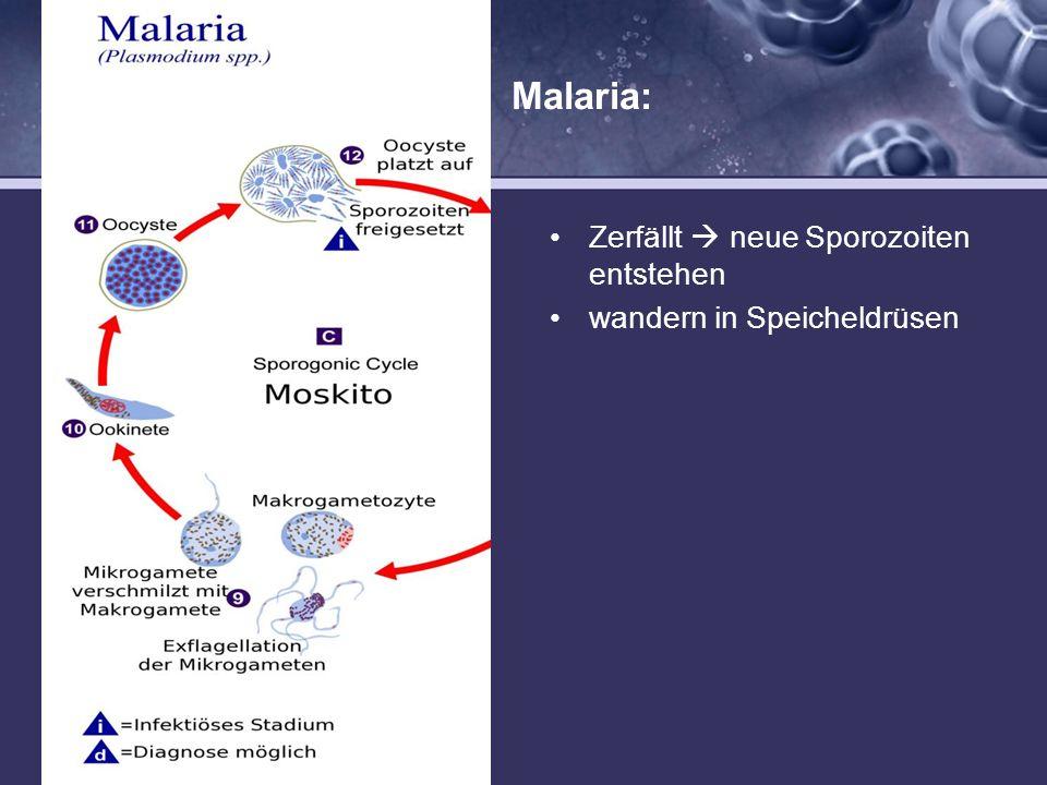 Malaria: Mücke (sexuelle Phase) saugt Mücke erneut nimmt sie diese so genannten Gametozyten auf Mikrogametozyten werden zu Mikrogameten und Makrogamet