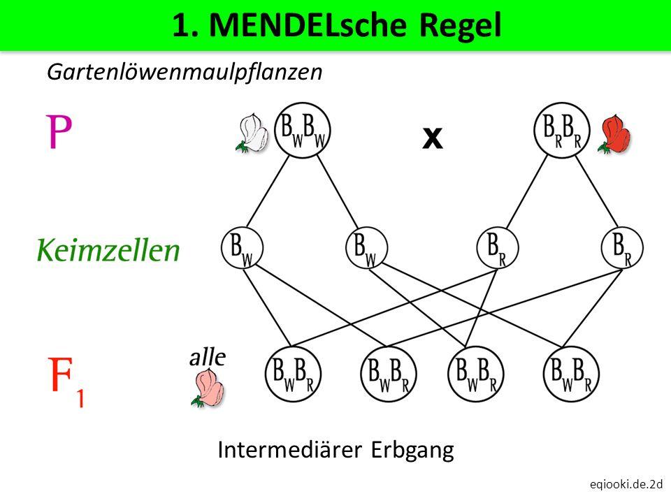 eqiooki.de.2d 1. MENDELsche Regel Intermediärer Erbgang Gartenlöwenmaulpflanzen