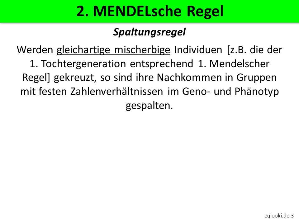 eqiooki.de.3 2. MENDELsche Regel Spaltungsregel Werden gleichartige mischerbige Individuen [z.B. die der 1. Tochtergeneration entsprechend 1. Mendelsc