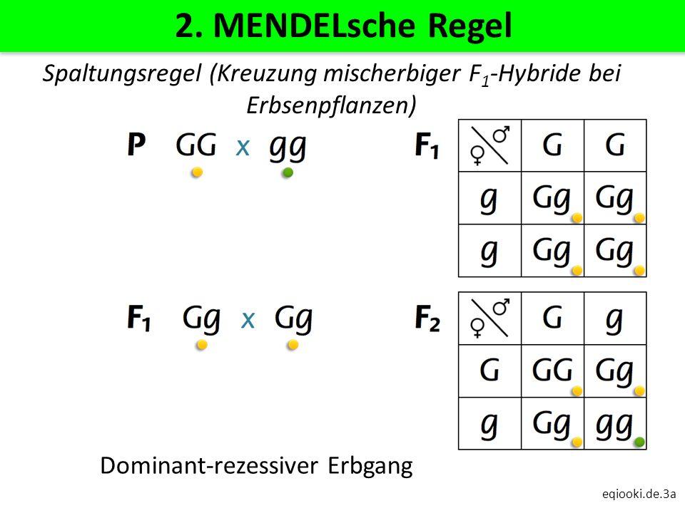 eqiooki.de.3a 2. MENDELsche Regel Dominant-rezessiver Erbgang Spaltungsregel (Kreuzung mischerbiger F 1 -Hybride bei Erbsenpflanzen)