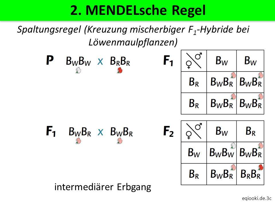 eqiooki.de.3c 2. MENDELsche Regel intermediärer Erbgang Spaltungsregel (Kreuzung mischerbiger F 1 -Hybride bei Löwenmaulpflanzen)