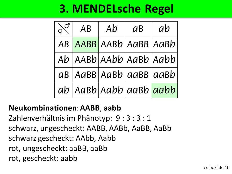 eqiooki.de.4b 3. MENDELsche Regel Neukombinationen: AABB, aabb Zahlenverhältnis im Phänotyp: 9 : 3 : 3 : 1 schwarz, ungescheckt: AABB, AABb, AaBB, AaB