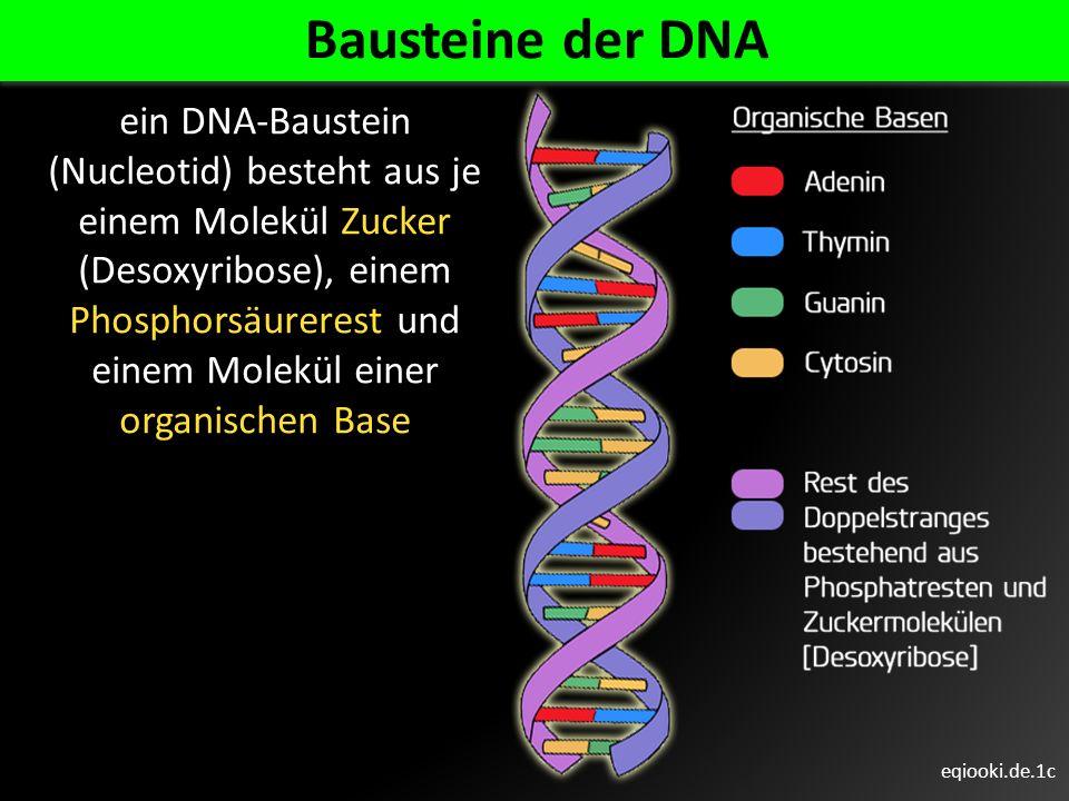 eqiooki.de.1c Bausteine der DNA ein DNA-Baustein (Nucleotid) besteht aus je einem Molekül Zucker (Desoxyribose), einem Phosphorsäurerest und einem Mol