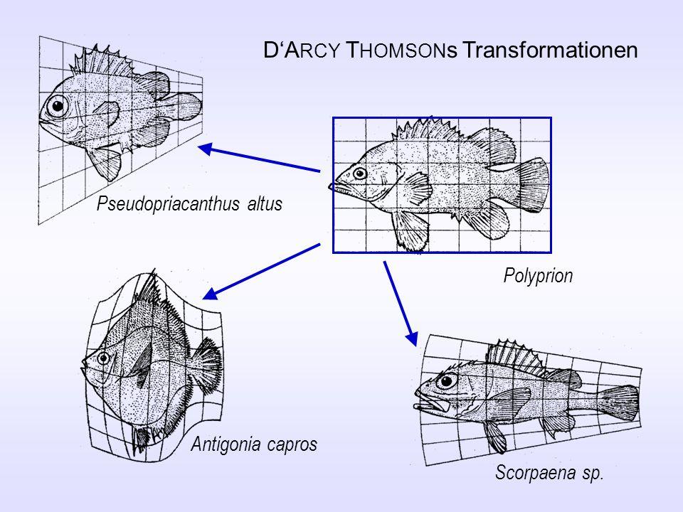 DA RCY T HOMSON s Transformationen Polyprion Scorpaena sp. Antigonia capros Pseudopriacanthus altus