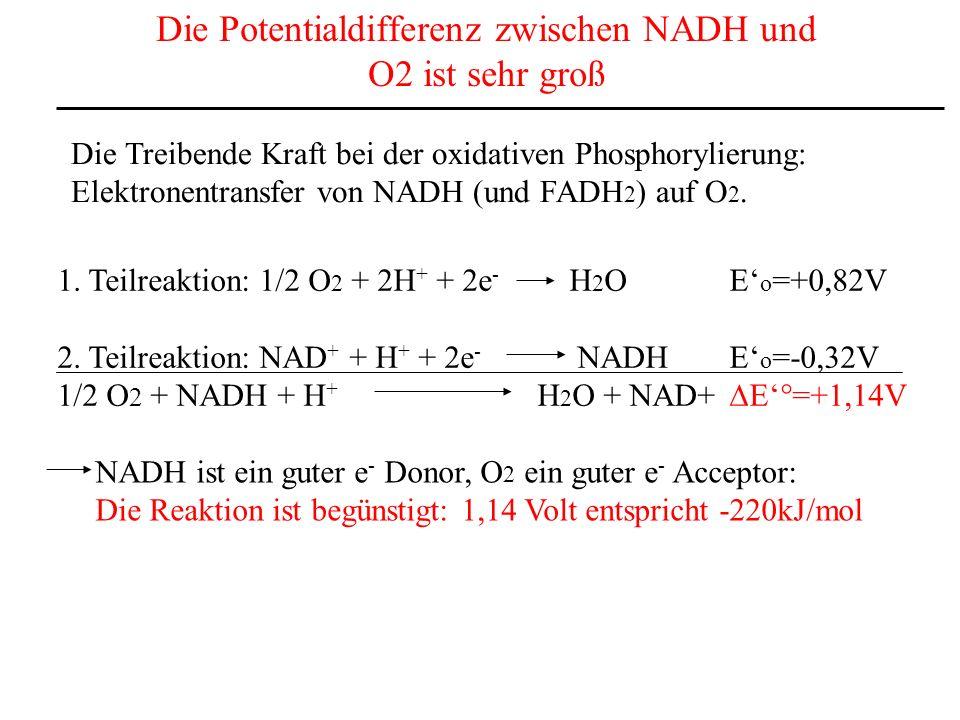 Die Potentialdifferenz zwischen NADH und O2 ist sehr groß Die Treibende Kraft bei der oxidativen Phosphorylierung: Elektronentransfer von NADH (und FA