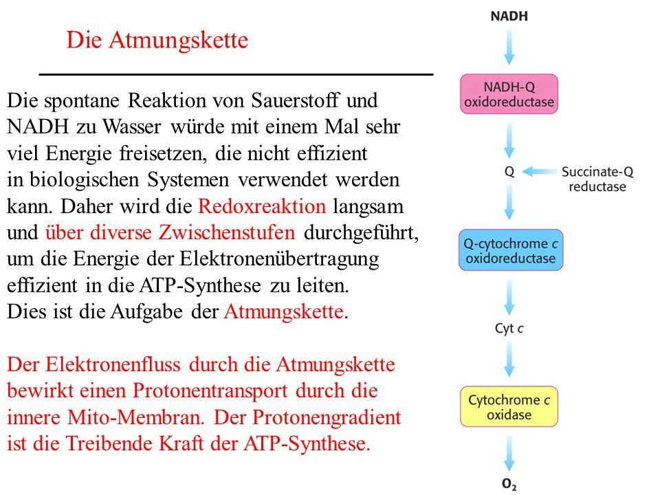 Die Atmungskette Die spontane Reaktion von Sauerstoff und NADH zu Wasser würde mit einem Mal sehr viel Energie freisetzen, die nicht effizient in biol