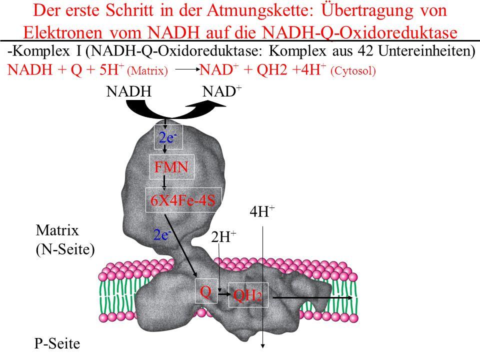 Der erste Schritt in der Atmungskette: Übertragung von Elektronen vom NADH auf die NADH-Q-Oxidoreduktase -Komplex I (NADH-Q-Oxidoreduktase: Komplex au