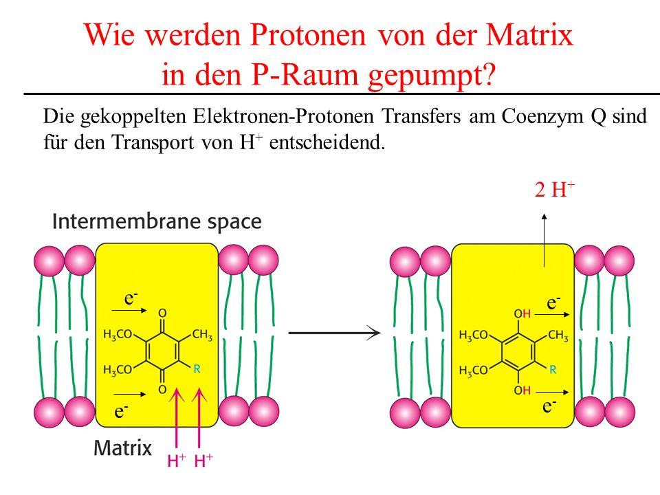 Wie werden Protonen von der Matrix in den P-Raum gepumpt? Die gekoppelten Elektronen-Protonen Transfers am Coenzym Q sind für den Transport von H + en