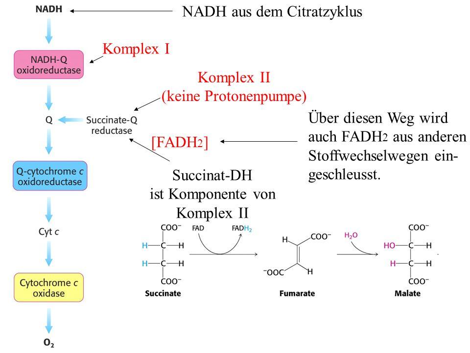 NADH aus dem Citratzyklus Komplex I Komplex II (keine Protonenpumpe) Succinat-DH ist Komponente von Komplex II [FADH 2 ] Über diesen Weg wird auch FAD